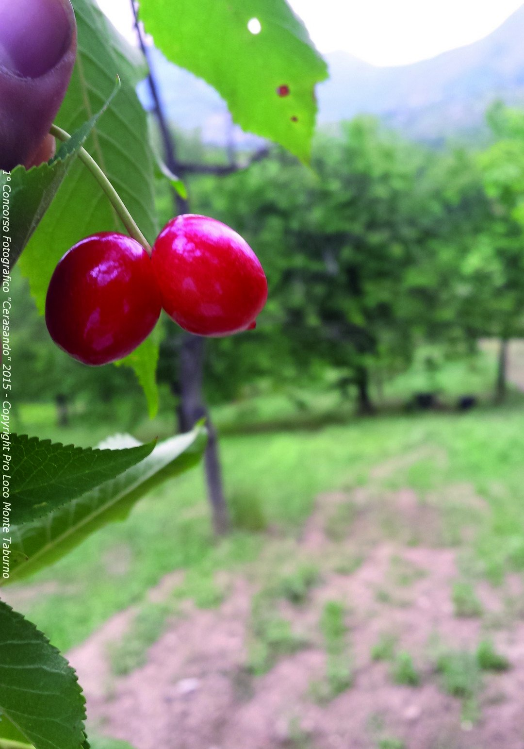 Love is in the cherry